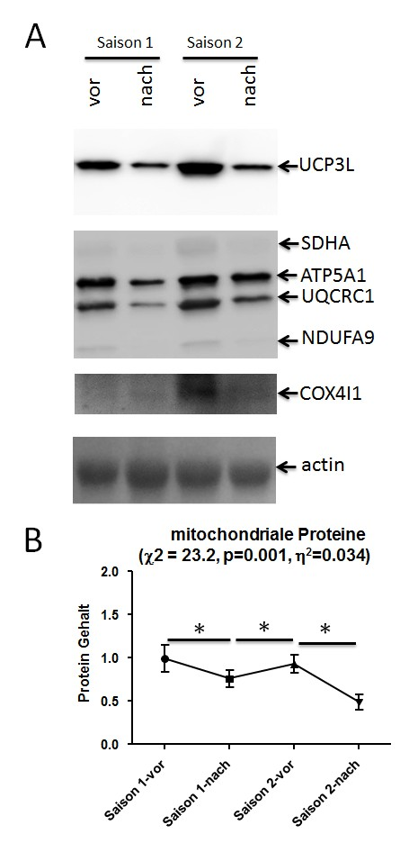 Bild Gehalt mitochondrialer Proteine im Kniestrecker-Muskel eines Junioren Radrennfahrers