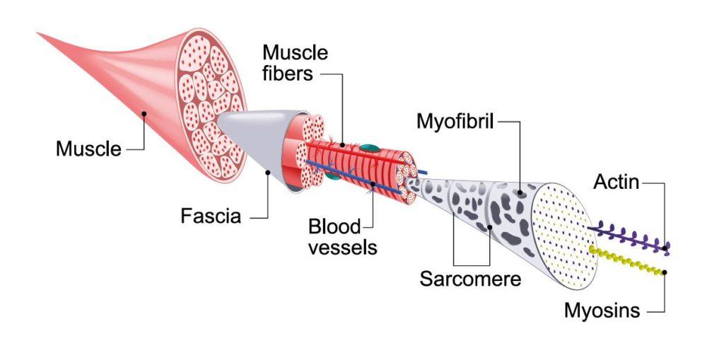 Stammzellen verbessern Regenerationsfähigkeit der Skelettmuskulatur