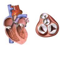 Kardiale Rehabilitation nach chirurgischem oder interventionellem Klappenersatz und Klappenrekonstruktion